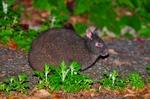 ビッグアマミノクロウサギ.jpg